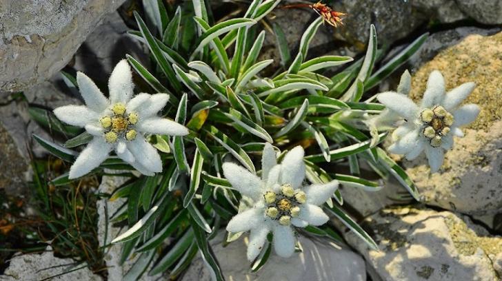 Floarea de colţ