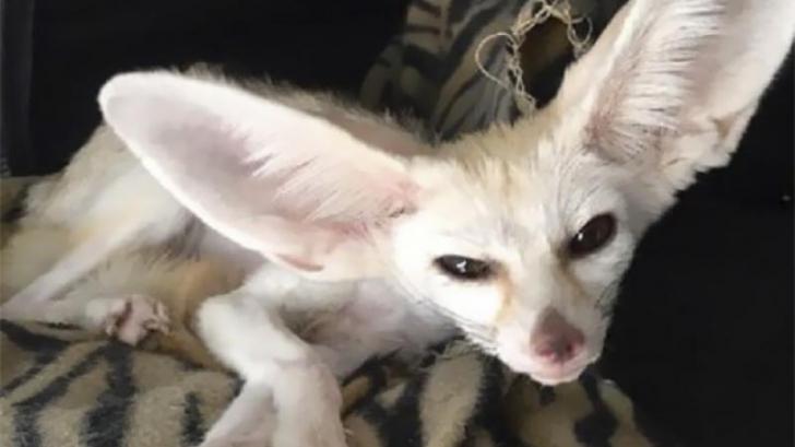 Revoltător! A luat o vulpe și a hrănit-o cu o dietă vegană. Cum arată acum animalul