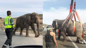 Un camion în care se aflau cinci elefanți, implicat într-un accident rutier