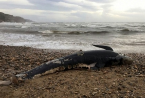 Descoperire terifiantă în burta unui caşalot găsit mort pe o plajă din Spania