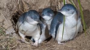 Mii de pinguini au fost găsiţi morţi pe coasta Noii Zeelande