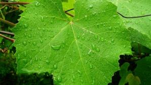 Frunzele de viţă-de-vie au proprietăţi vindecătoare miraculoase. Tu ştii care sunt acestea?