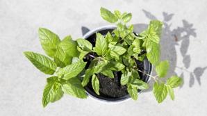 Plante aromatice pe care le poţi creşte în casă. Cum le poţi menţine mereu proaspete