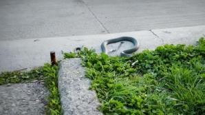 Panică în Cişmigiu: un şarpe de dimensiuni impresionante, surprins târându-se pe asfalt / Foto: Digi 24