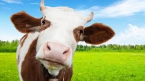 Vaca ar putea deveni cel mai mare mamifer terestru