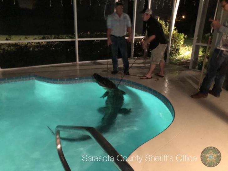 VIDEO. S-au trezit cu aligatorul în piscină