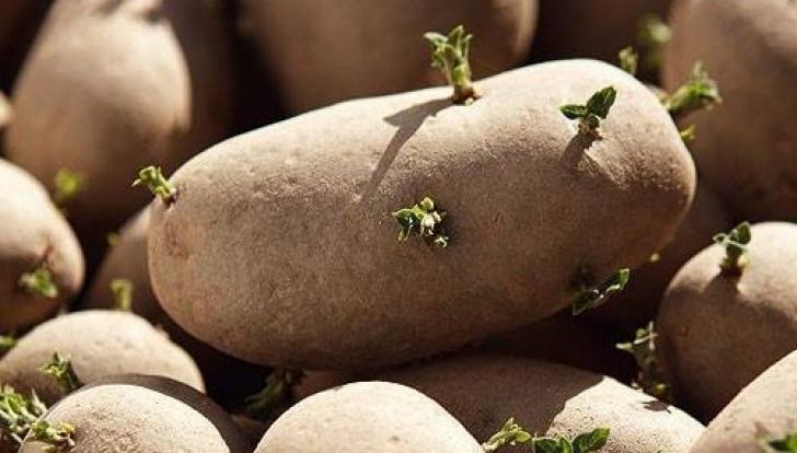 Ne omoară sau nu cartofii încolţiti? Ce ne spun specialiştii