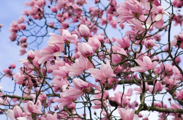 Cum se înmulţeşte magnolia. Trucuri pentru o grădină de vis!