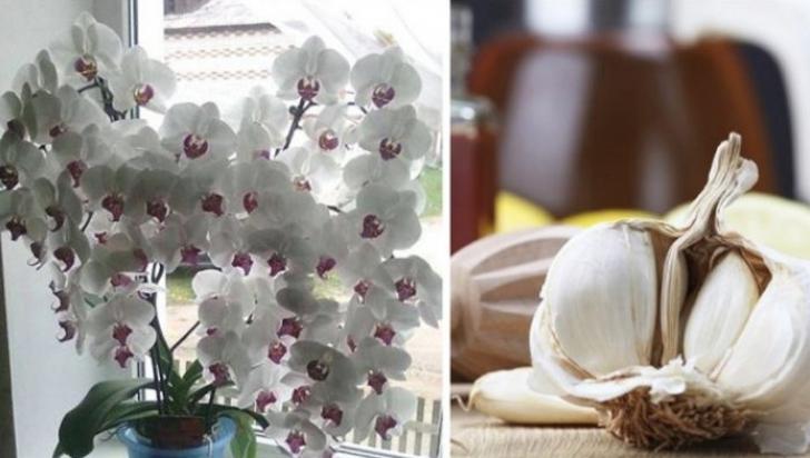 Usturoiul, un elixir pentru orhidee. Într-o lună vei avea o mulţime de flori frumoase!