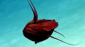 Un calamar roșu găsit în adâncul Golfului Mexic