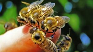 Albinele ucigaşe. Doi oameni au murit şi unul este în stare gravă după ce au fost atacaţi de albine