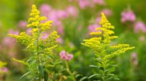 Tot ce trebuie să ştii despre alergia la ambrozie, cea mai periculoasă plantă