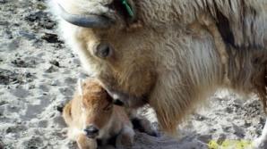 Eveniment extrem de rar: un pui de bizon alb s-a născut în captivitate