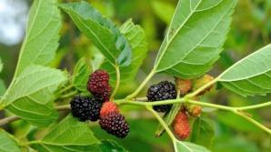 Ceaiul de frunze de dud are efecte uimitoare. Ce boli tratează