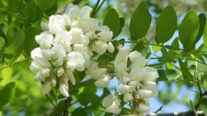 Dulceaţă din flori de salcâm: cea mai simplă reţetă. Va ieşi delicioasă!