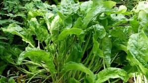 Cea mai sănătoasă legumă din lume, pe care românii au uitat-o complet