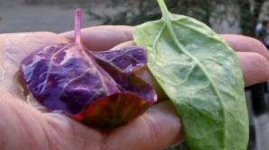 Planta care previne cancerul la colon şi întăreşte vasele de sânge