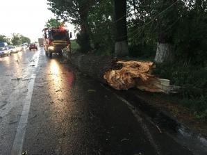 Copac cazut pe DN 2. Foto: Ziarul Obiectiv Ialomita