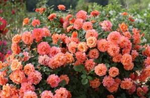 Cum să îngrijeşti corect trandafirul. Sfaturi pentru o înflorire bogată