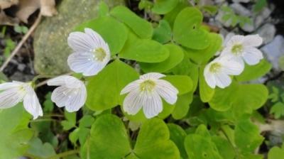 Mulţi o culcă la pământ, dar această plantă are proprietăţi anticancerigene fabuloase