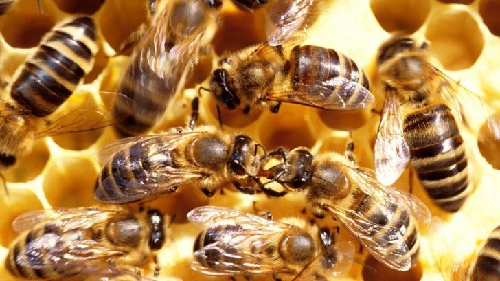 Albinele atacă din nou! 4 persoane au fost agresate de albine în judeţul Constanţa