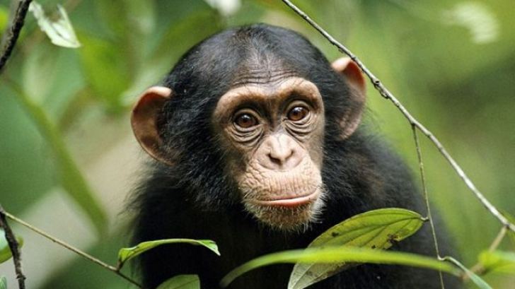 Culcuşurile cimpanzeilor, mai curate decât... paturile oamenilor