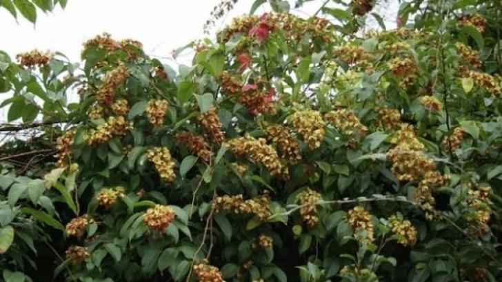 Planta miraculoasă care vindecă obezitatea