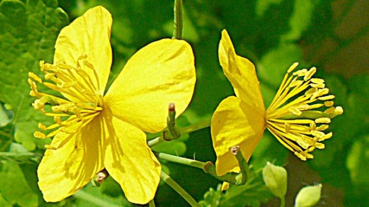 Planta miraculoasă care tratează peste 150 de boli. Ştii care este?