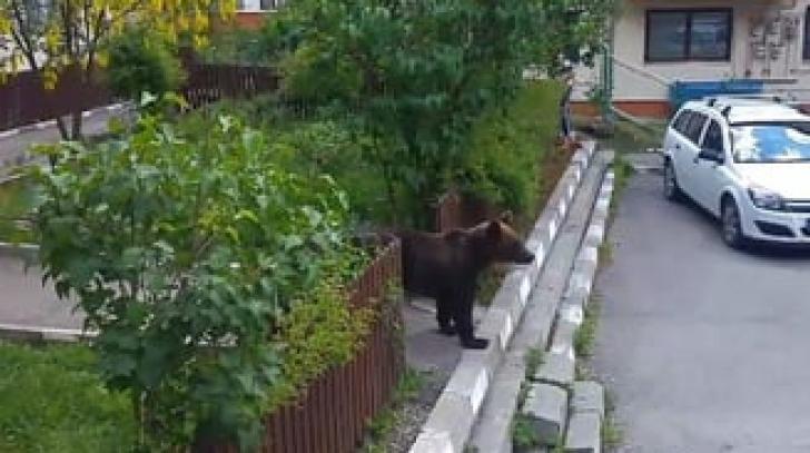Un urs tânăr a coborât printre blocuri, la Buşteni