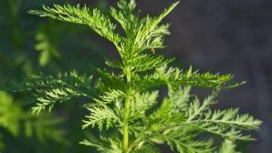 Această plantă distruge 98% din celulele canceroase în doar 16 ore. Creşte şi în România!