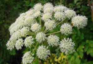 Această plantă ignorată de mulţi vindecă peste 80 de afecţiuni