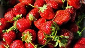 """""""Răzbunarea"""" căpşunarilor din România? Fructele englezilor putrezesc pe câmp"""