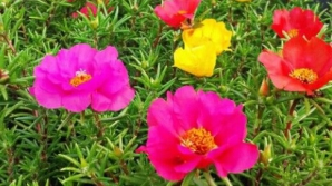 Le calci în picioare, dar îţi pot salva viaţa! Florile de piatră tratează tumorile, hepatita, ciroza