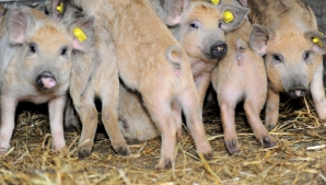 Atenţie! Pesta porcină se extinde în România