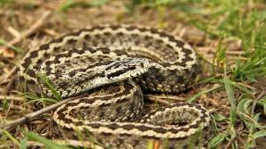 Copil muşcat de şarpe, la Vaslui