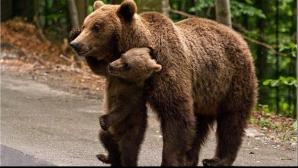 Atenţie la urşi! Aceştia încurcă lucrările pe Transfăgărăşan