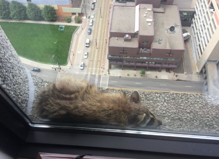 Ratonul s-a cățărat pe un zgârie nori din Minnesota