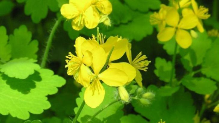 Planta miraculoasă care tratează peste 150 de boli. Unde o poţi găsi