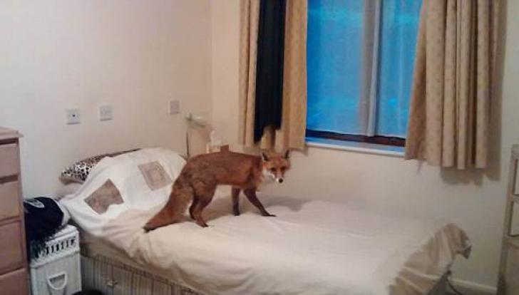 Bunica s-a dus la culcare, dar în pat o aștepta vulpea