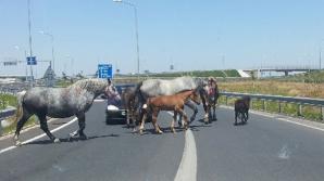 Imagini șocante pe A1! Cai lăsați liberi pe șosea, omorâți de mașini