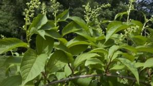 Secretul păstrat cu sfinţenie de chinezi sute de ani: planta care tratează cancerul în 40 de zile