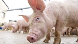 ALERTĂ. Pesta porcină se extinde în România