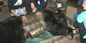 Un urs a fost silit să stea 9 ani încins într-o vestă de fier. Când l-au eliberat, au avut un şoc!