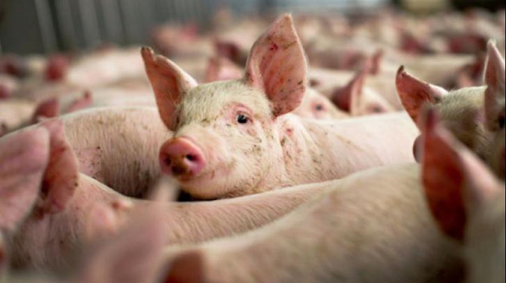 Imagini pentru pesta porcina