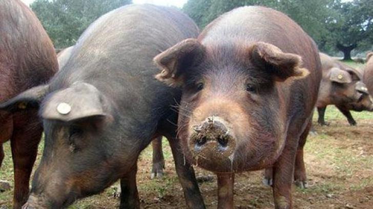 ALERTĂ: Pesta porcină africană, confirmată în 29 de localităţi din judeţul Tulcea
