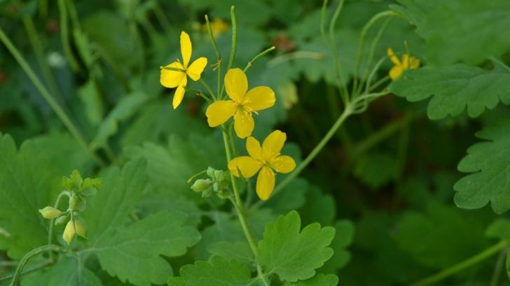 O singură plantă, peste 150 de boli tratate, chiar şi cancerul. Ştii care este planta miraculoasă?