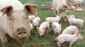 Asociatia Producătorilor de Carne, protest la Ministerul Agriculturii față de sacrificarea porcilor