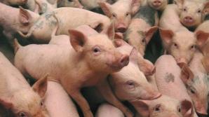 Opt focare de pestă porcină africană în județul Constanța