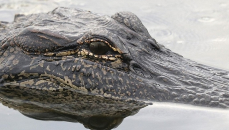 """A sărit în apa plină cu crocodili. Credea că-i poate îmblânzi """"cu vorba"""". Ce a urmat este terifiant"""
