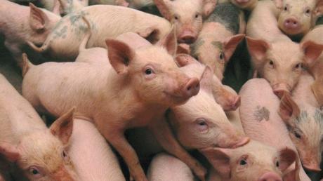 pesta-porcina-din-teleorman-i